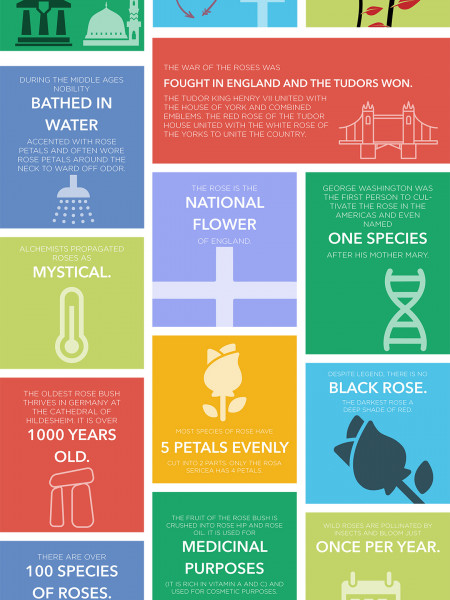 21 Fun Facts about the Rose Infographic