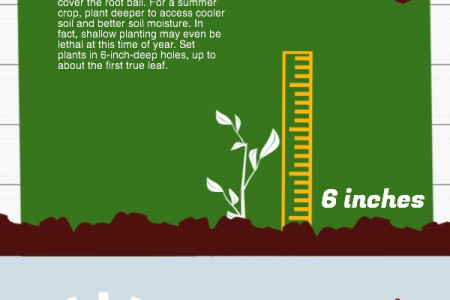 4 Steps to Success with Summer Tomatoes Infographic