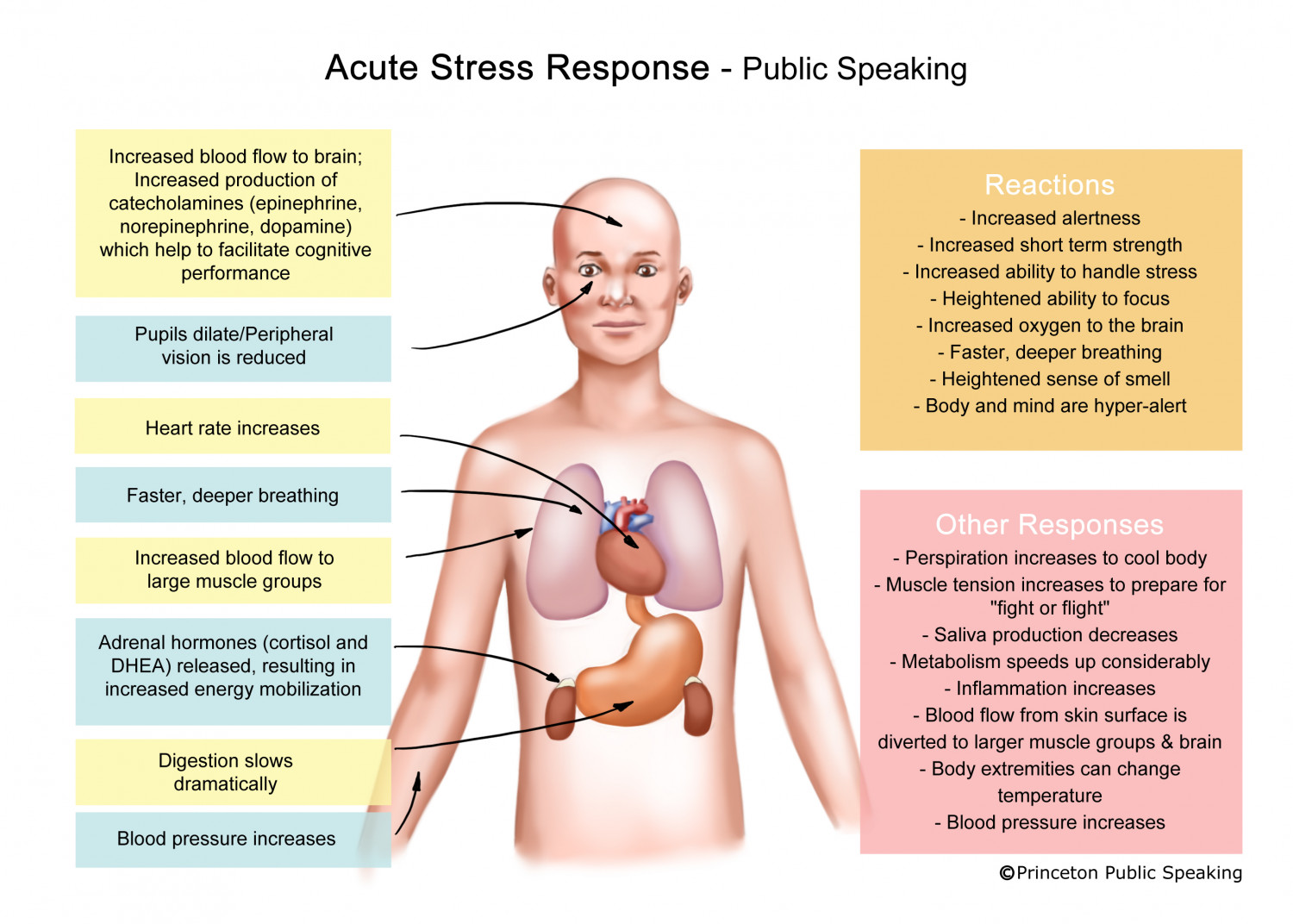 Acute Stress Response - Public Speaking Infographic