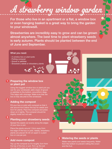 A strawberry window garden Infographic