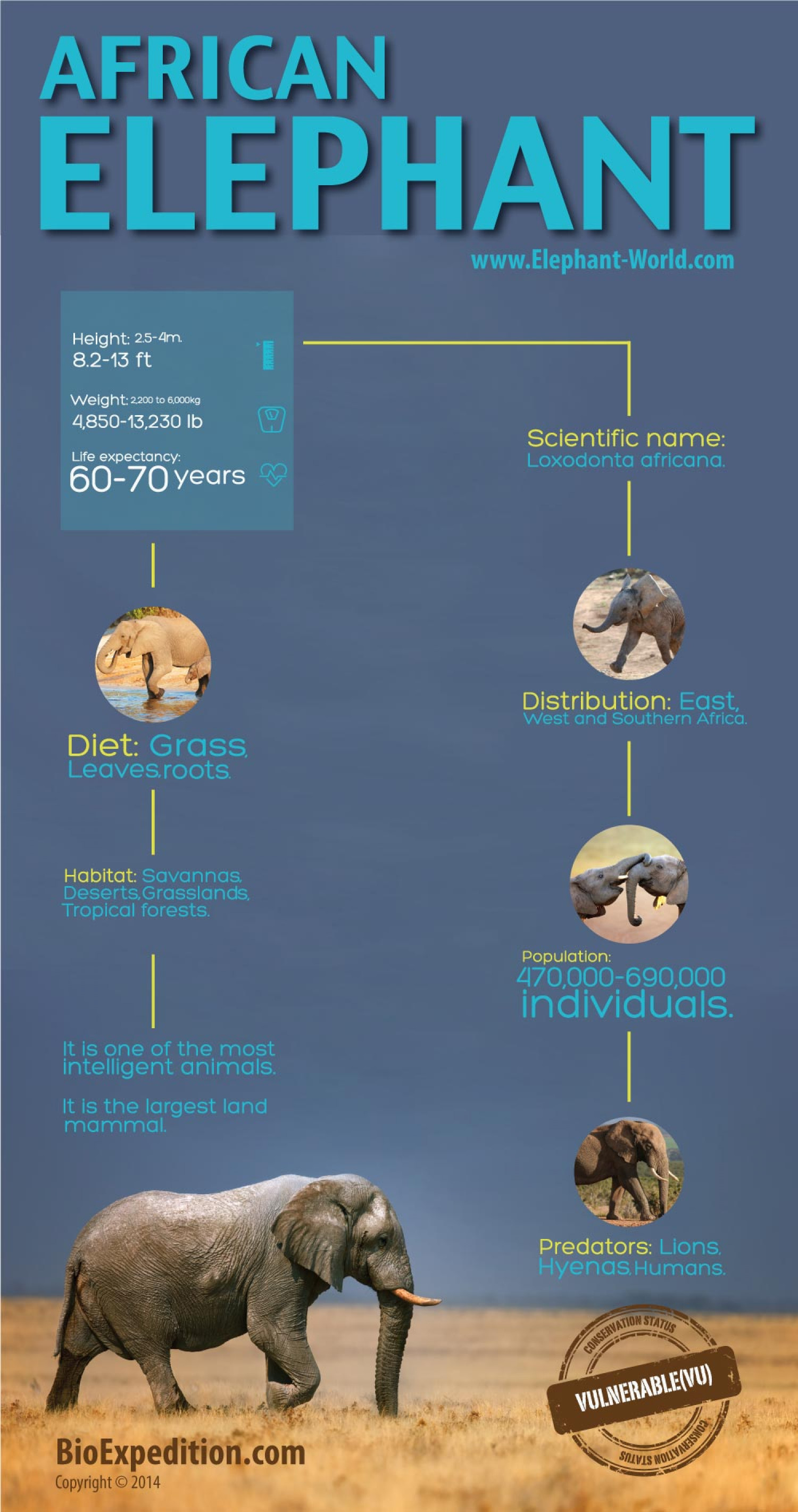 African Elephant Infographic