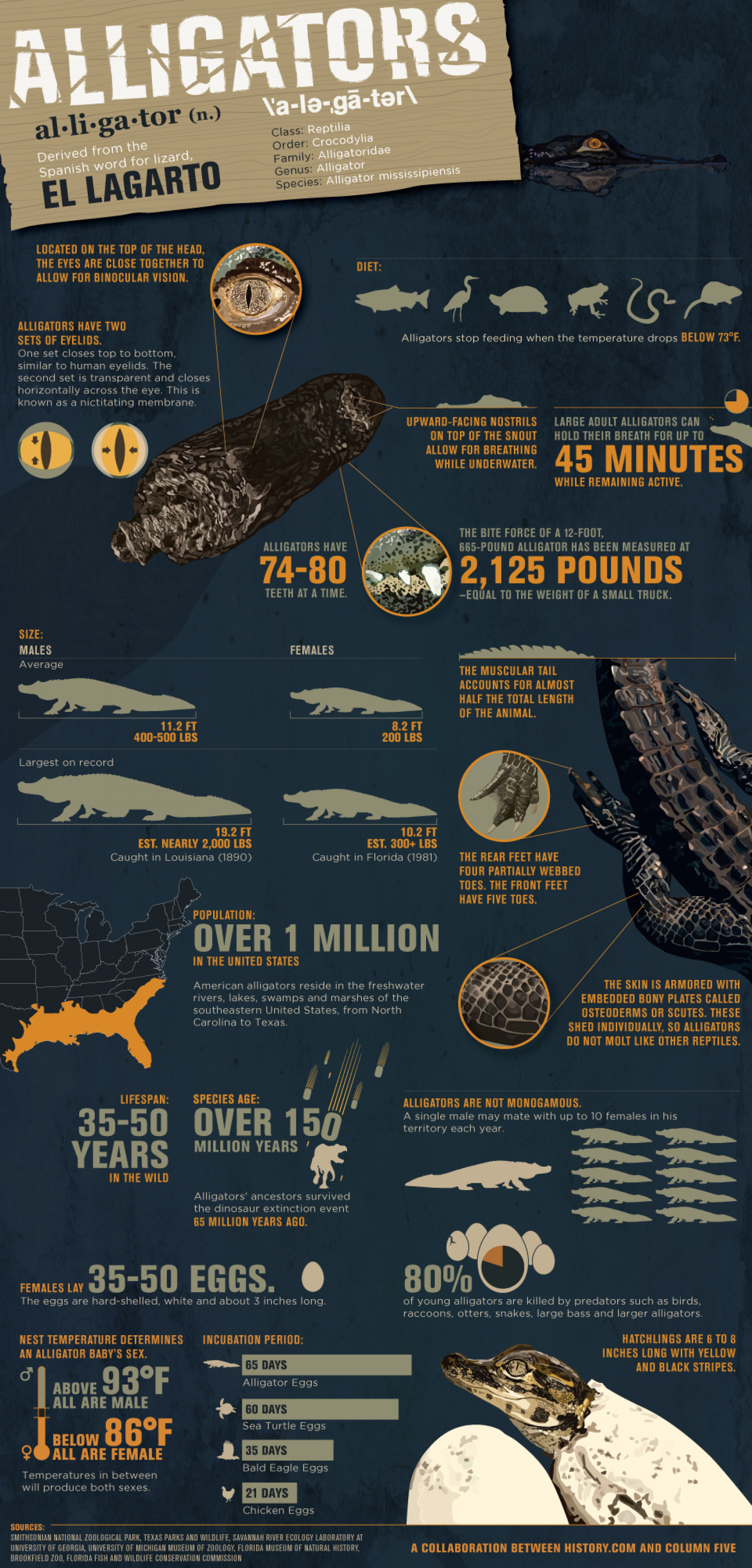 Alligators Infographic