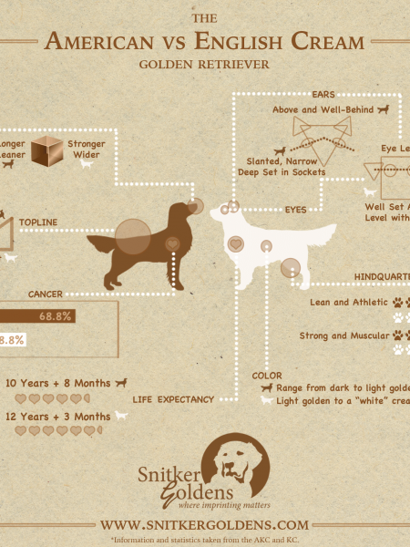 American vs English Cream Golden Retriever Infographic