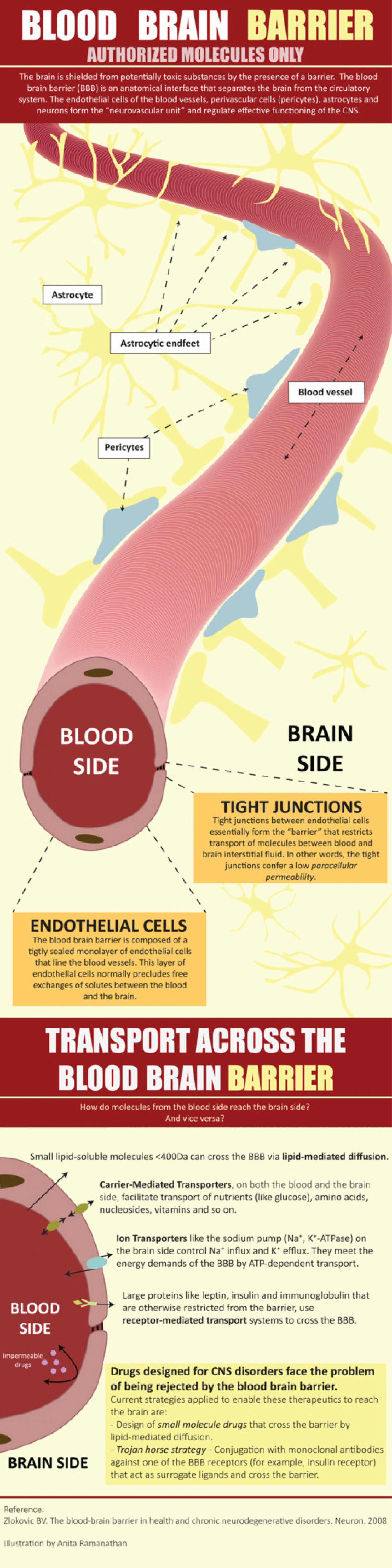 Blood Brain Barrier Infographic