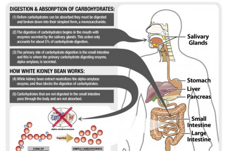 Burns Extra Body Fat by White Kidney Bean  Infographic