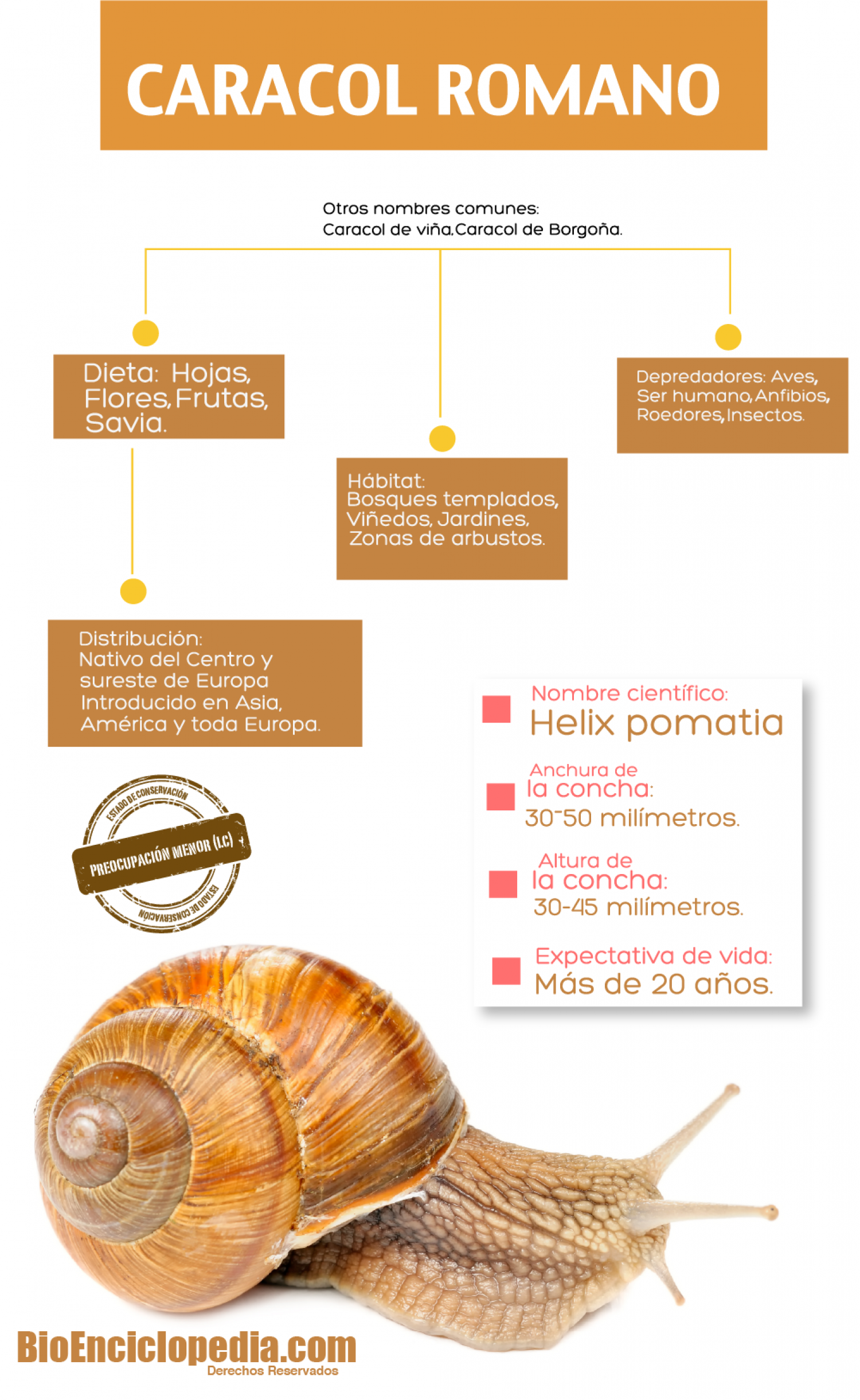 Caracol Romano Infographic