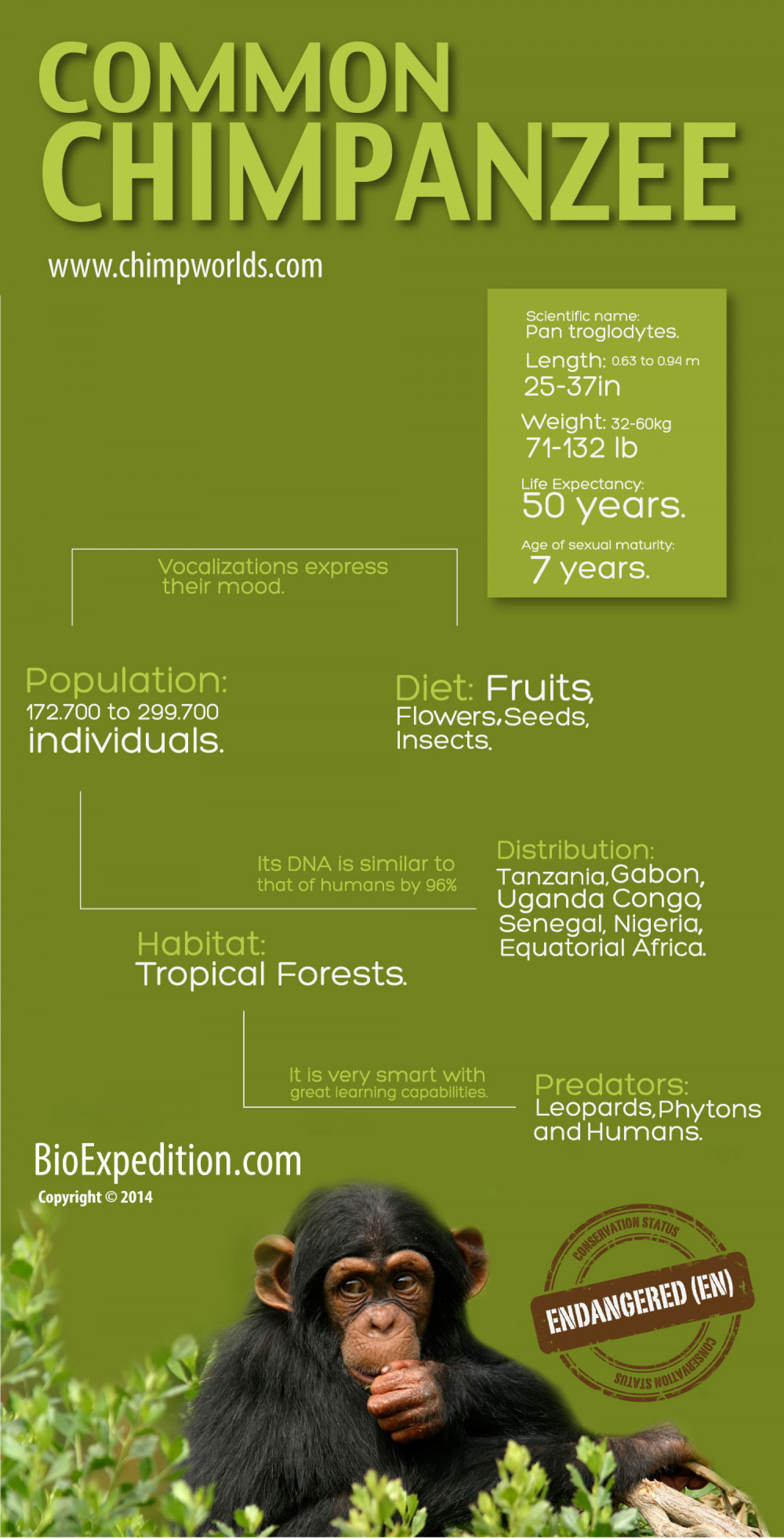 Common Chimpanzee Facts Infographic