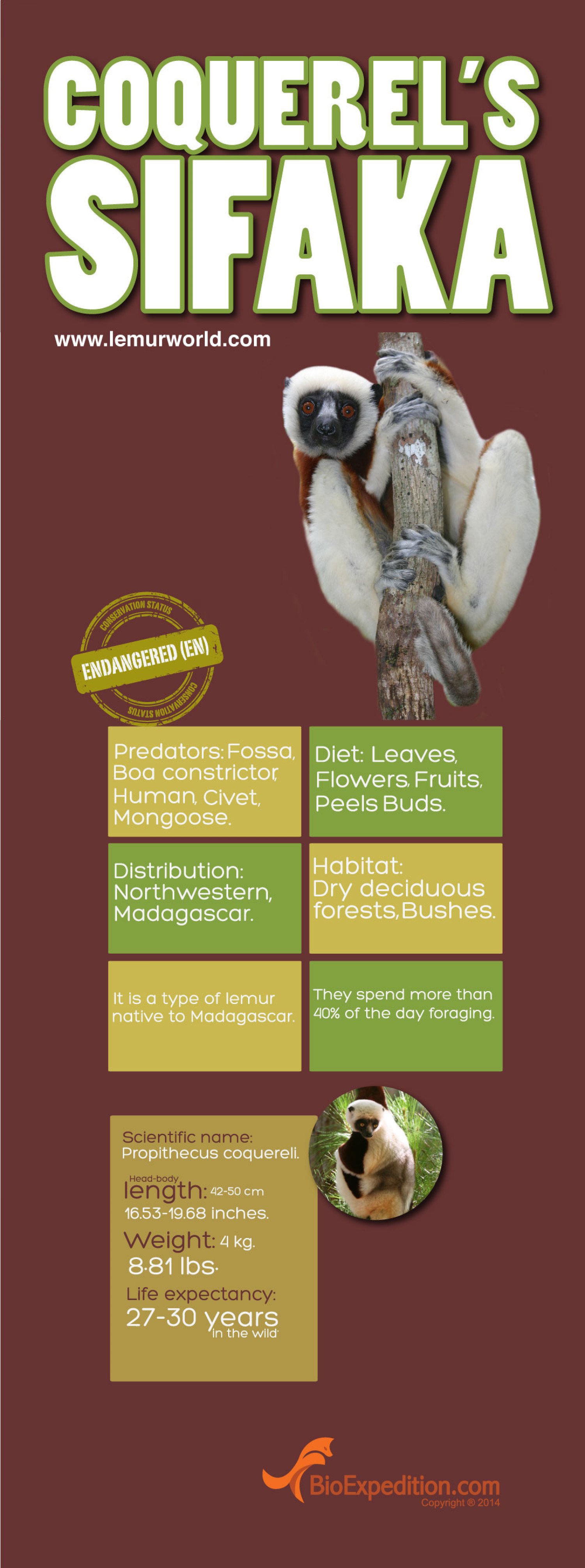 Coquerel's Sifaka Infographic