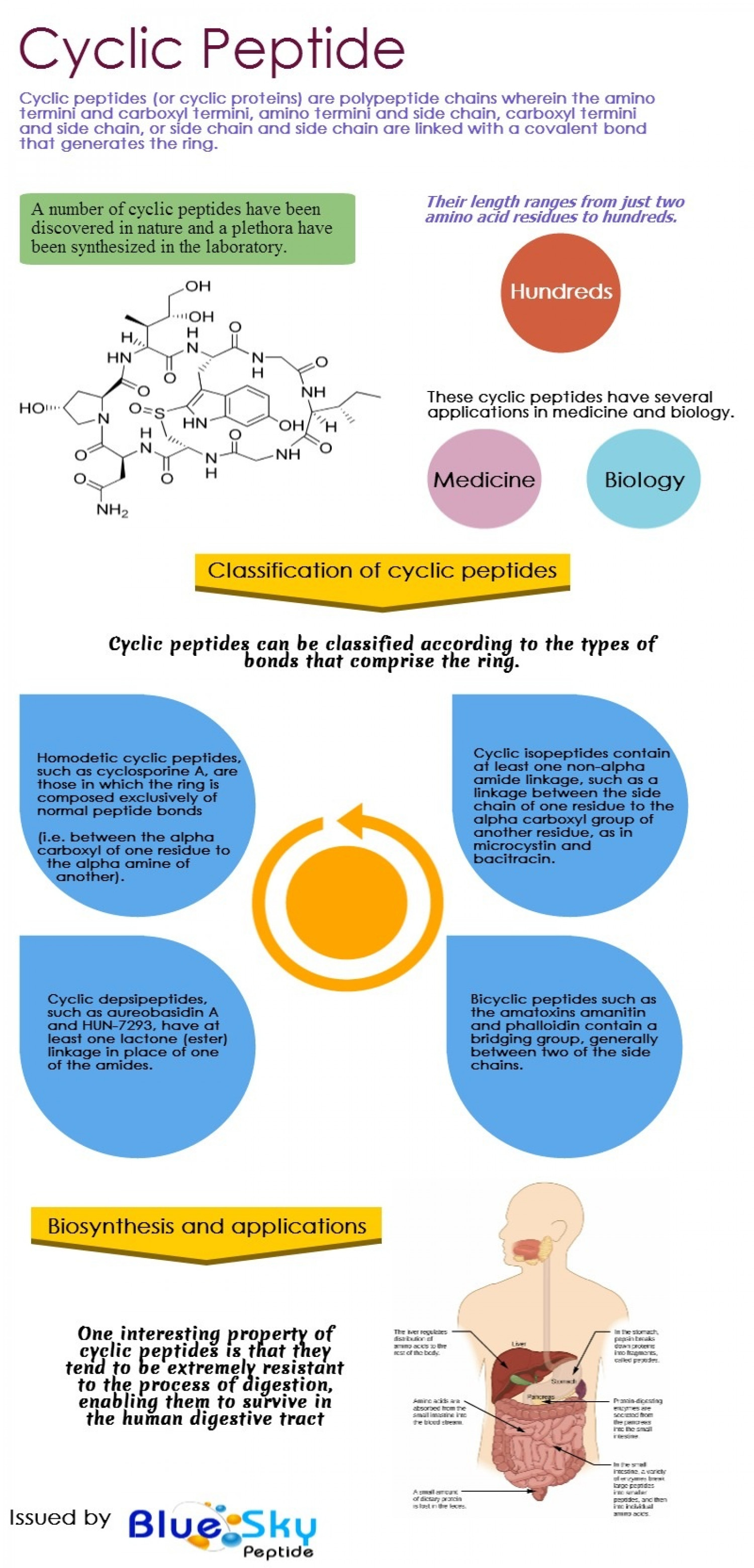 Cyclic Peptide Infographic
