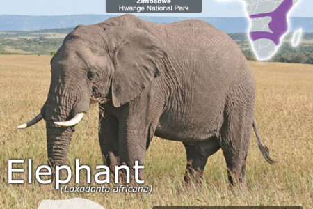 Elephant SnapFacts Infographic