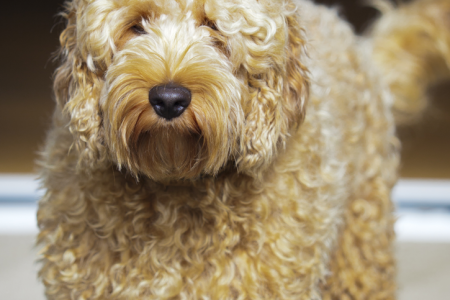 Everything Labradoodle. Infographic