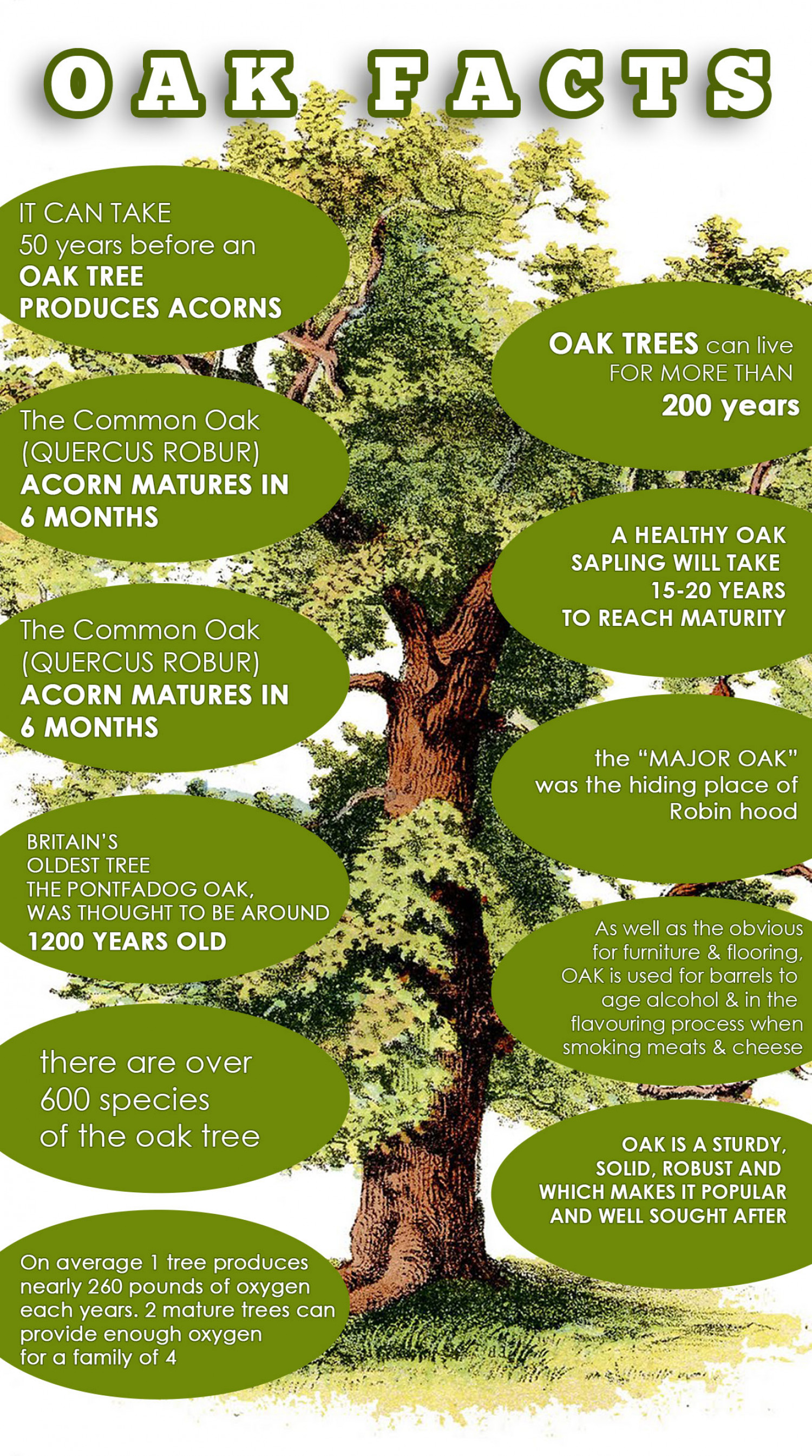 Facts About The Majestic Oak Tree Infographic