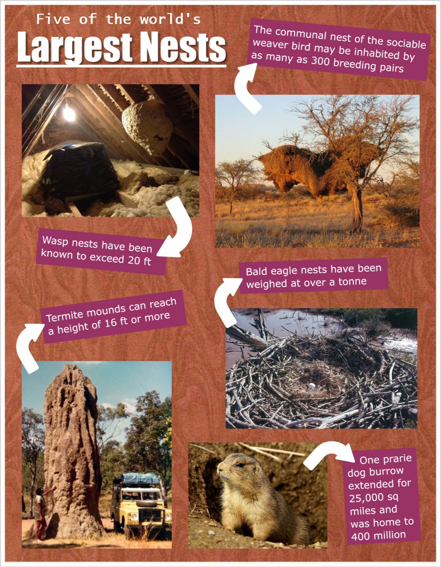Five of the World's Largest Nests Infographic