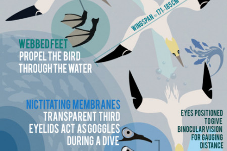 Gannets Infographic