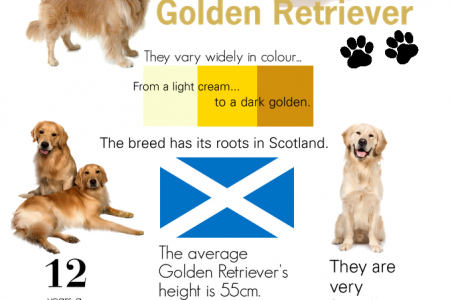 Golden Retriever Infographic