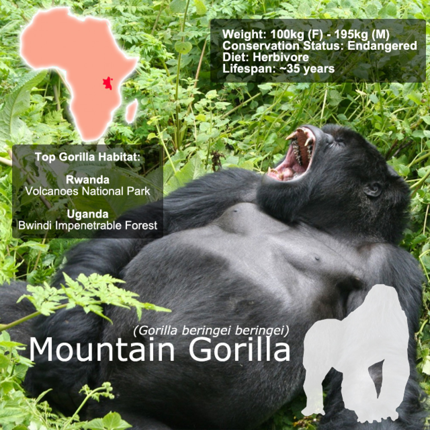 Gorilla Snap Facts Infographic