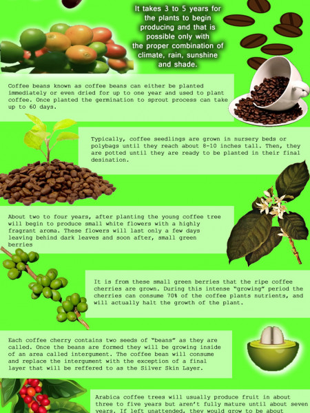 How Coffee Is Grown Infographic