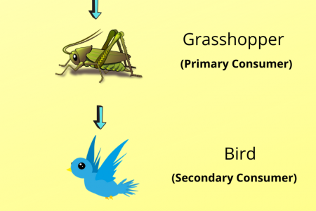 How does the energy flow in a food chain? Infographic