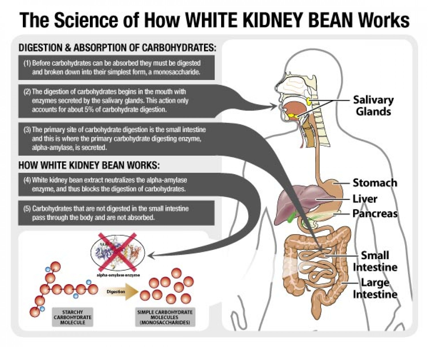 How white Kidney Bean Extract Enhances weight loss Infographic