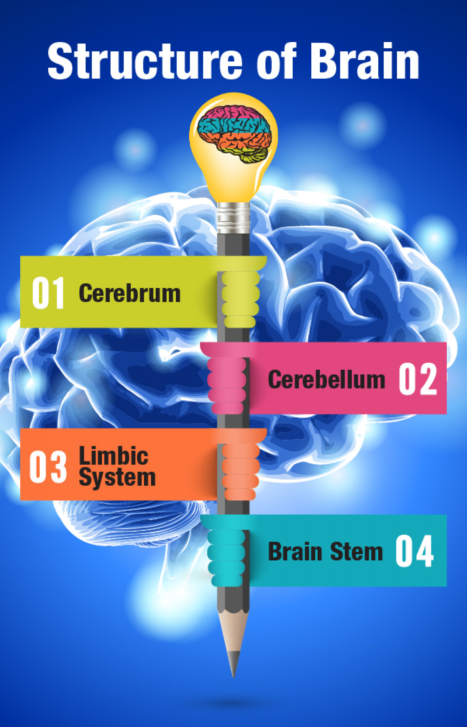 Structure of Brain Infographic