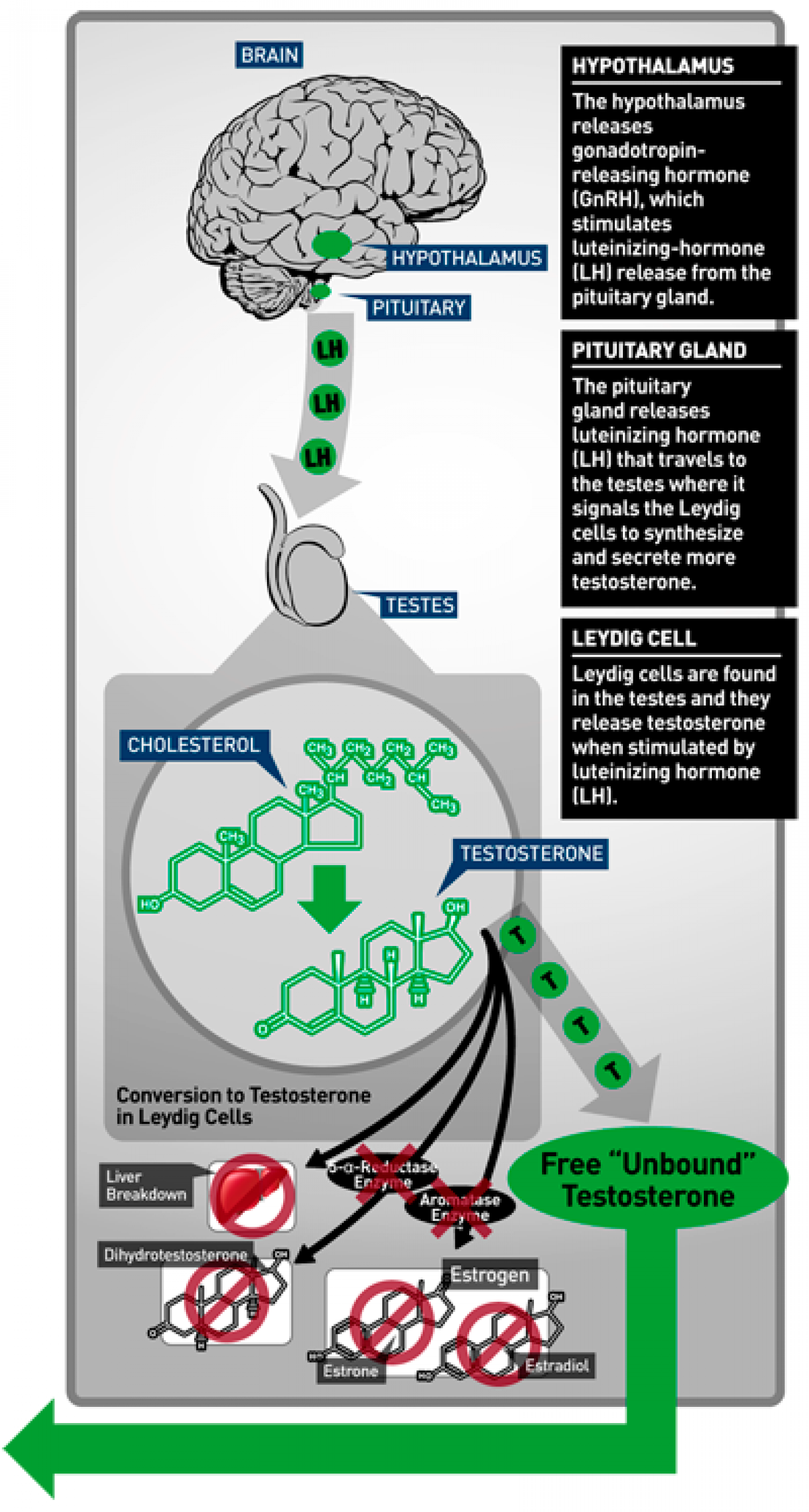 Importance of testosterone production Infographic