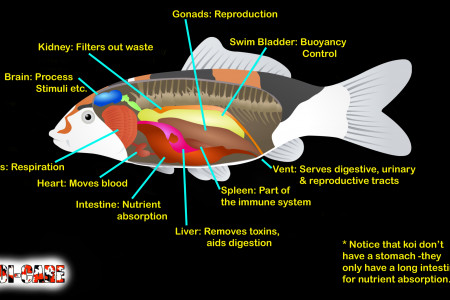 Internal organs of a koi Infographic