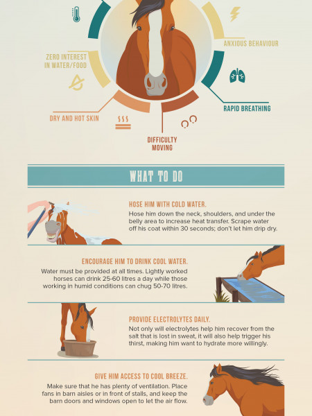 Is My Horse Suffering Heat Stress? Infographic