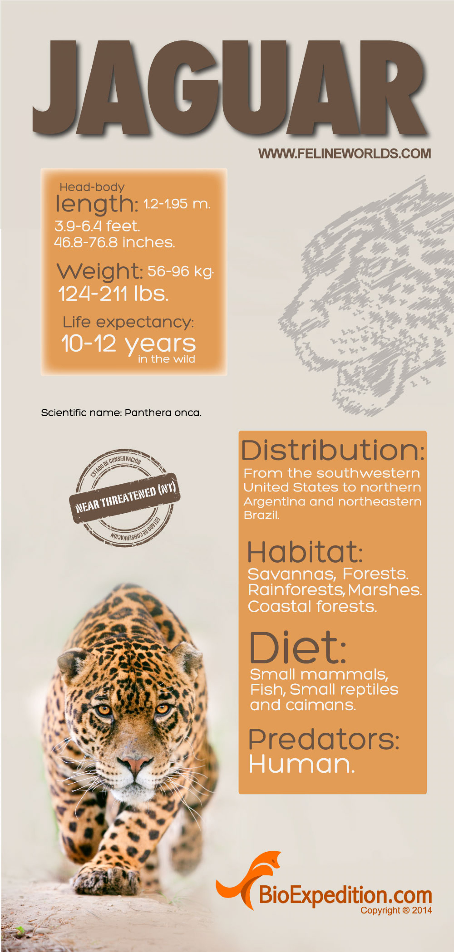 Jaguar Infographic