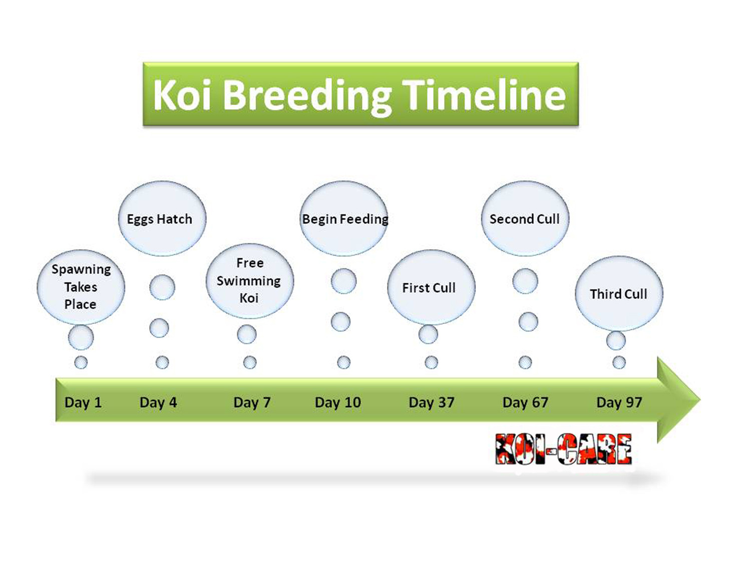 Koi Breeding Timeline of Events Infographic