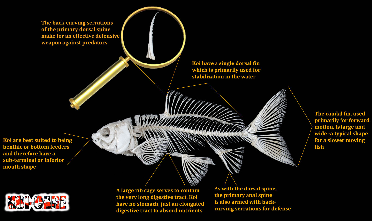 Koi Fish Skeleton Anatomy Diagram Infographic