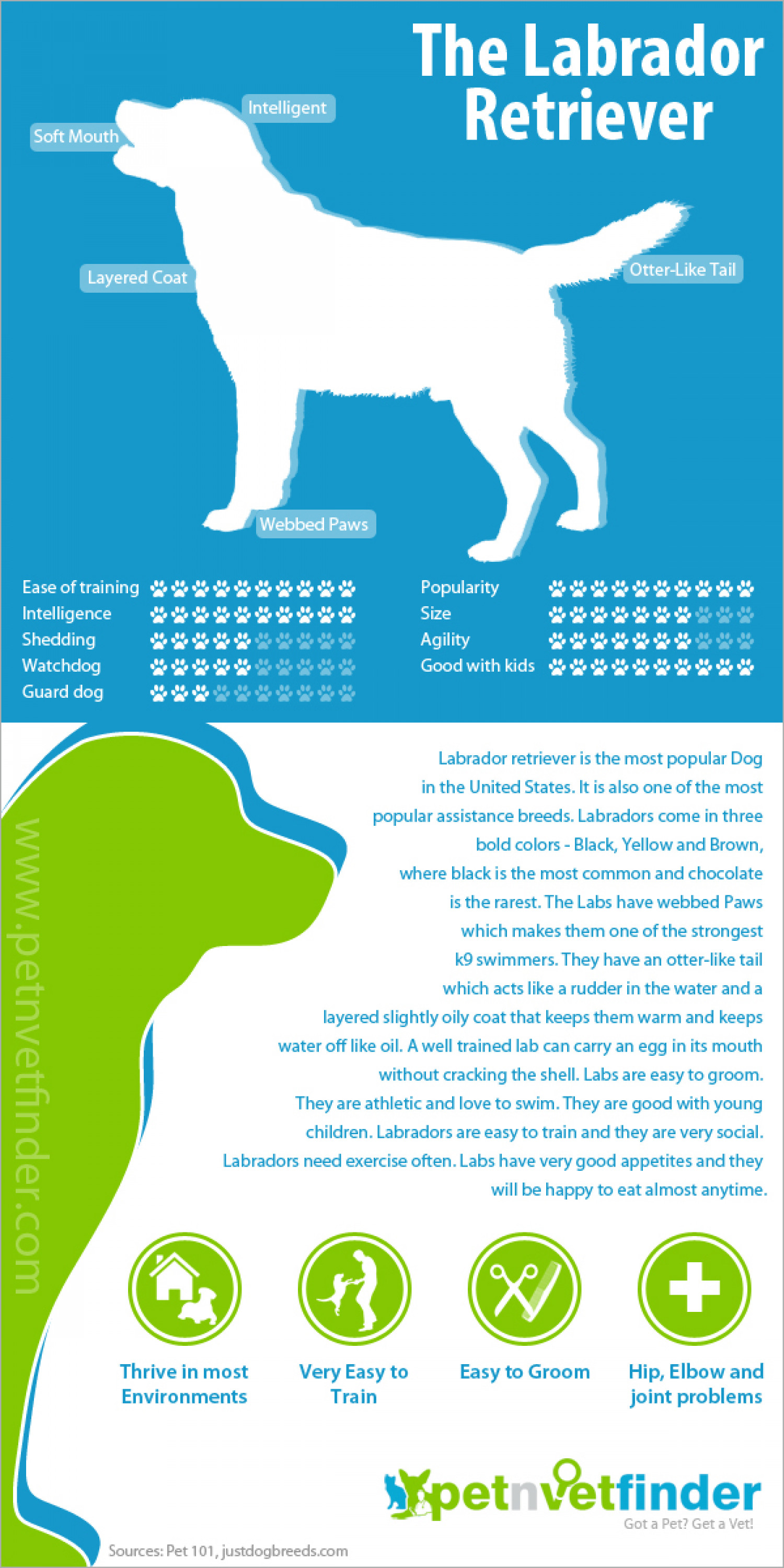 Labrador Retriever Infographic