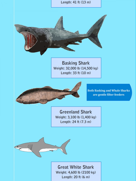Largest Sharks in the Oceans Infographic