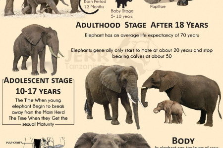 Life cycle Of the African Elephant Infographic