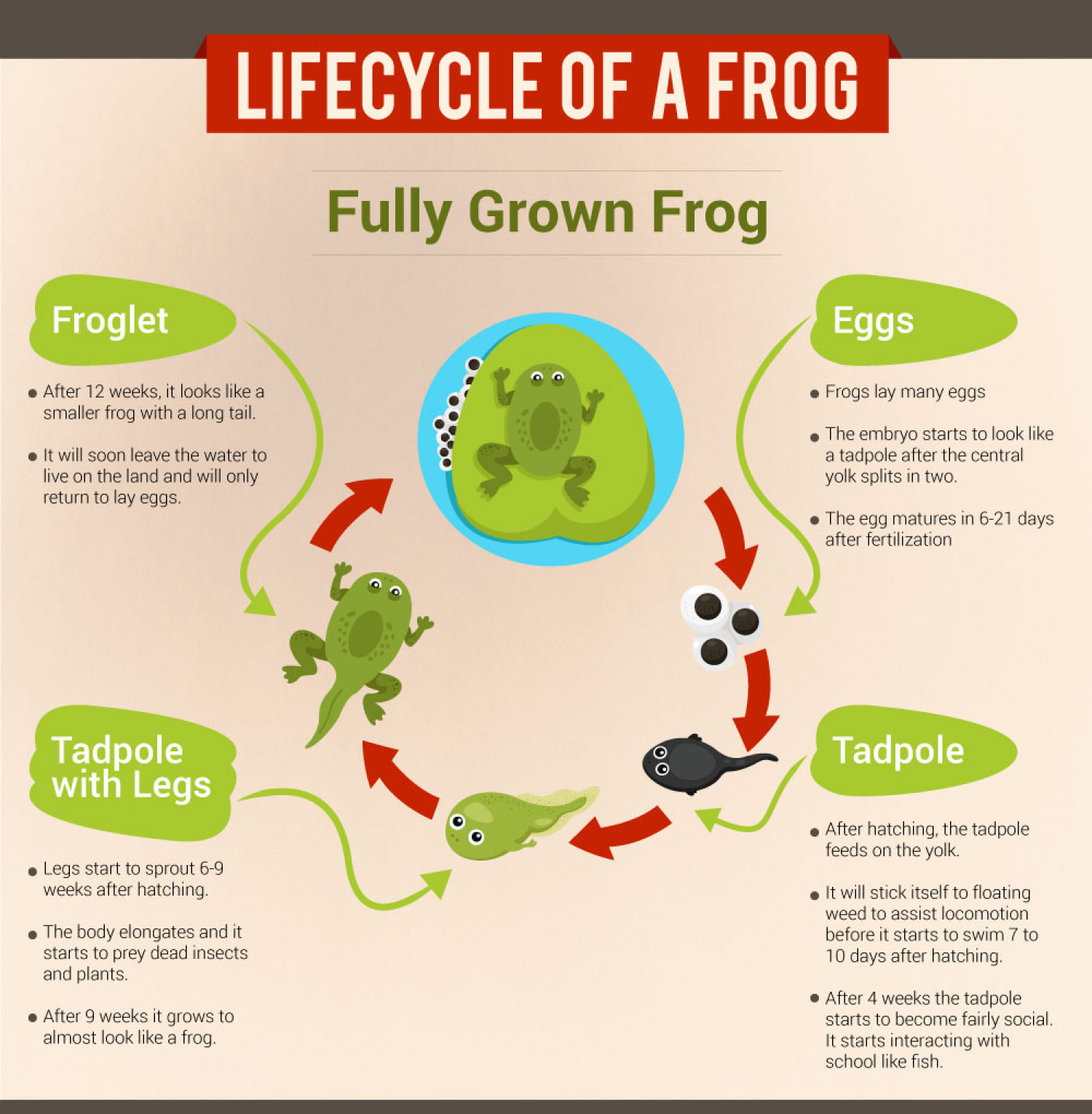Lifecycle of a Frog Infographic
