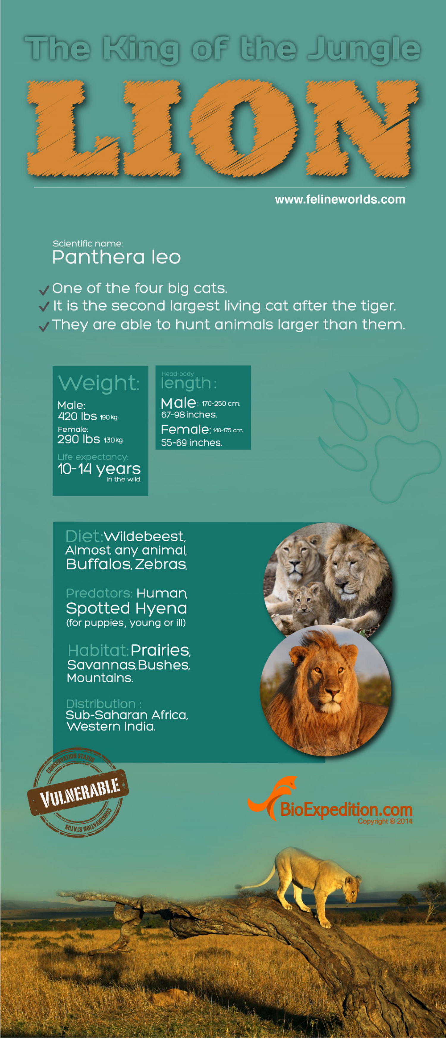 Lion Infographic