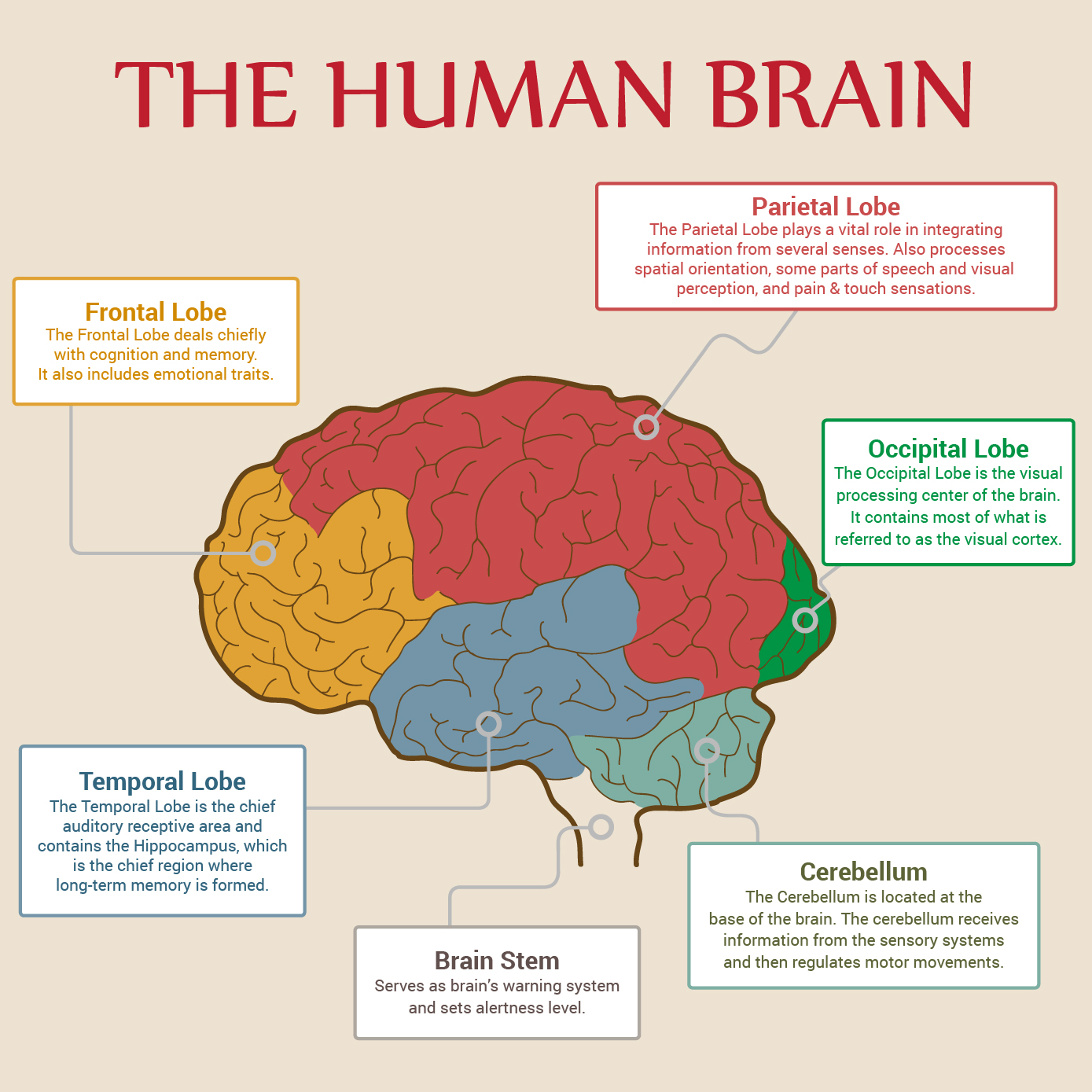 Human brain parts labeled