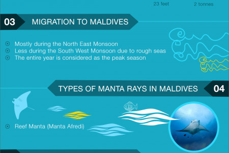 Manta Ray Migration to Maldives Infographic