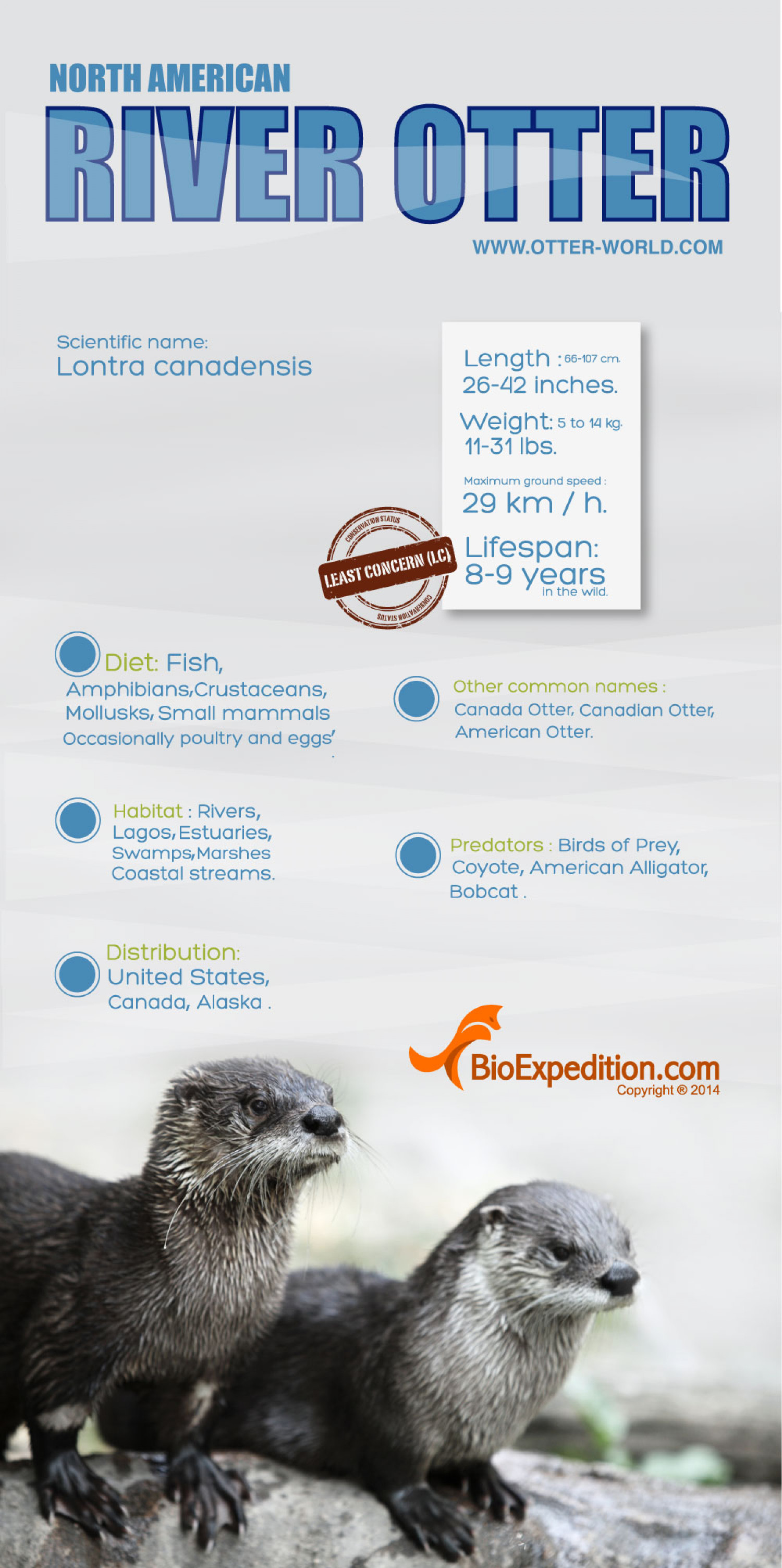 North American River Otter Infographic