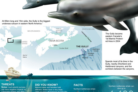 NORTHERN BOTTLENOSE WHALEs Infographic