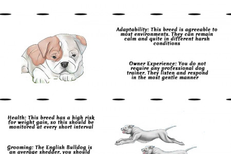 Owning an English Bulldog Infographic