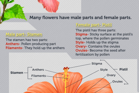 Parts of a Flower Infographic