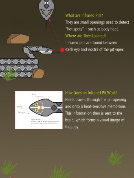 Pit Viper Infographic