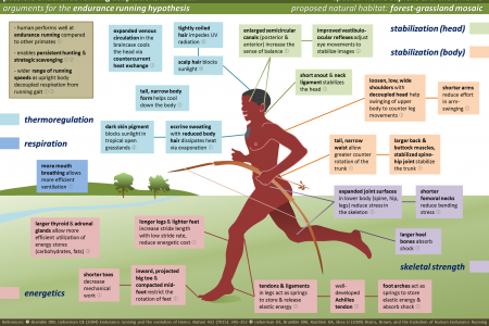 Possible Endurance Running Adaptations in Human Infographic