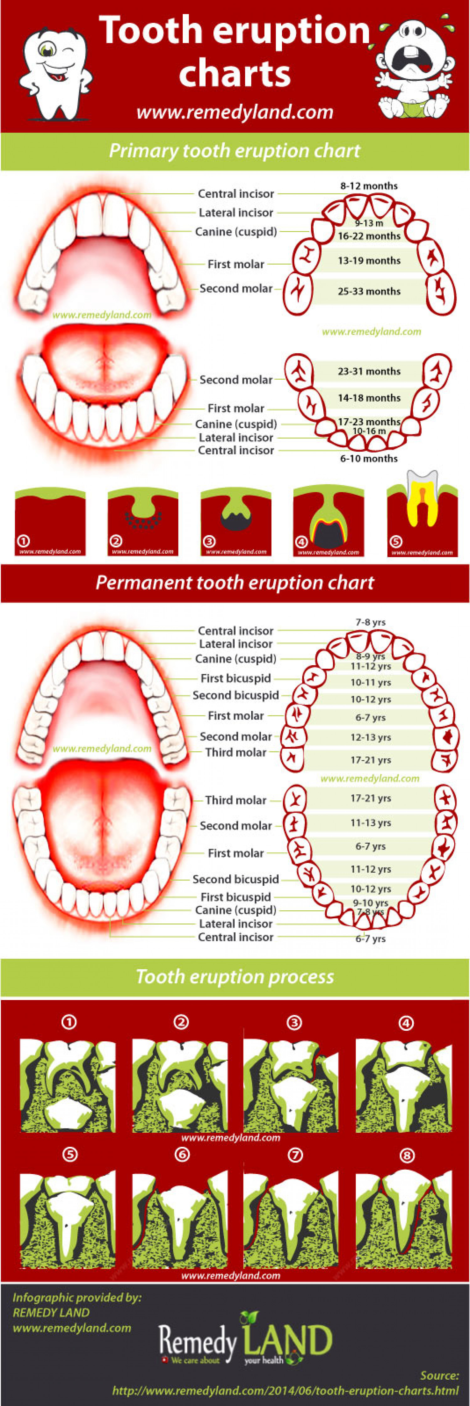 baby tooth diagram