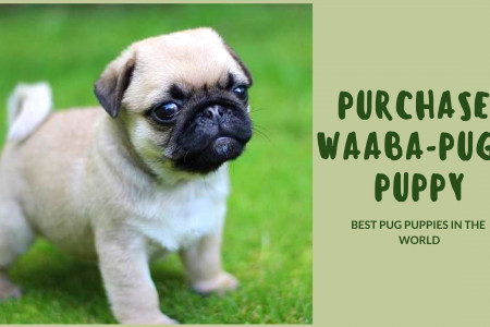 Purchase Waaba-Pugs Puppy - Waabapugs Pug Puppy Breeder Infographic