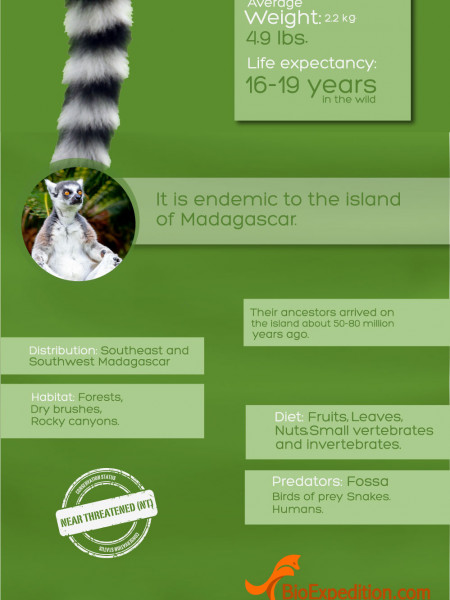 Ring-tailed Lemur Infographic