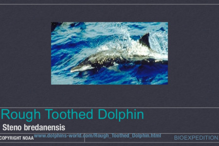 Rough-Toothed Dolphins - Steno Bredanensis Infographic