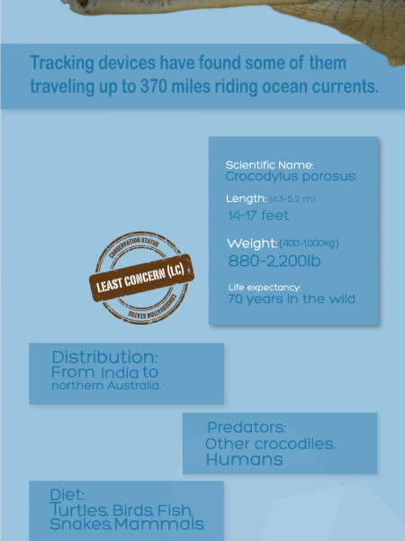 Saltwater Crocodile Infographic