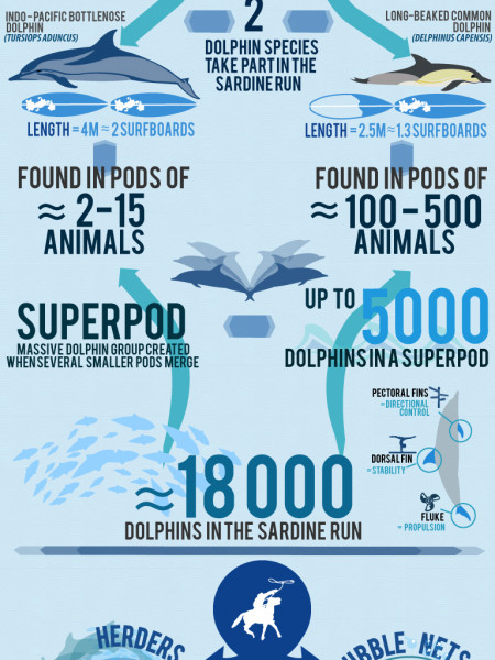 Sardine Run Infographics: The multi-talented dolphin | Earth-Touch ... Infographic