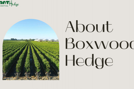 Shop For Boxwood Hedges   InstantHedge Infographic